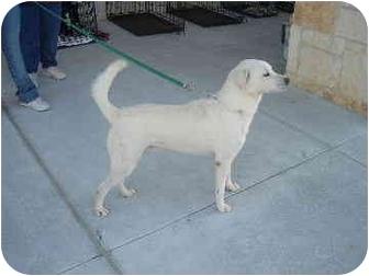 Shepherd (Unknown Type)/Labrador Retriever Mix Dog for adoption in Fort Worth, Texas - Casper