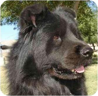 Newfoundland Mix Dog for adoption in Gilbert, Arizona - Chewy