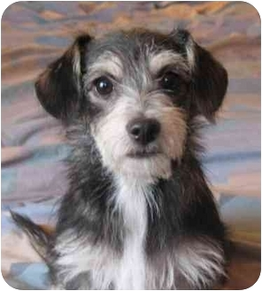 Terrier (Unknown Type, Small) Mix Puppy for adoption in Poway, California - LACY