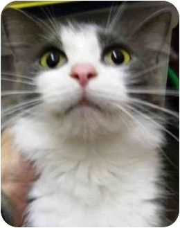Domestic Shorthair Cat for adoption in Alden, Iowa - Evelyn