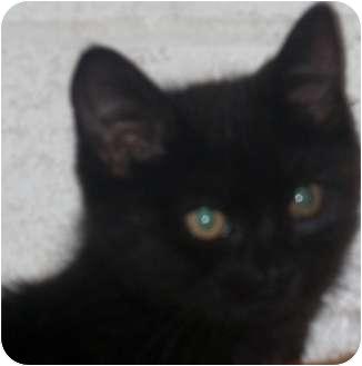 Domestic Mediumhair Kitten for adoption in Crookston, Minnesota - Shady