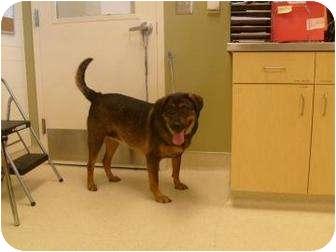 Labrador Retriever Mix Dog for adoption in Ponderay, Idaho - Stella