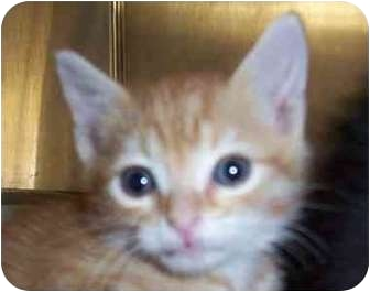 Domestic Shorthair Kitten for adoption in San Diego/North County, California - Nathaniel