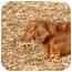 Photo 3 - Dachshund Dog for adoption in Ft. Myers, Florida - Autumn