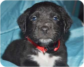 Great Pyrenees/Labrador Retriever Mix Puppy for adoption in Tulsa, Oklahoma - Alice
