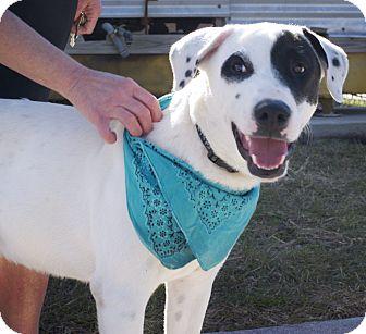 Labrador Retriever Mix Dog for adoption in Corpus Christi, Texas - Petey