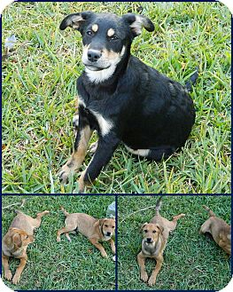 Labrador Retriever Mix Puppy for adoption in hollywood, Florida - puppies