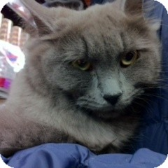 Domestic Mediumhair Cat for adoption in Toronto, Ontario - Blueberry