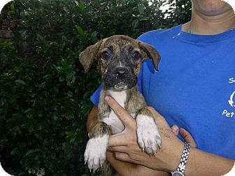 Pug/Beagle Mix Puppy for adoption in Oviedo, Florida - Mango