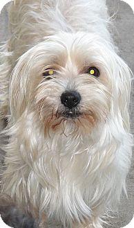 Maltese Dog for adoption in Naples, Florida - Bubbles