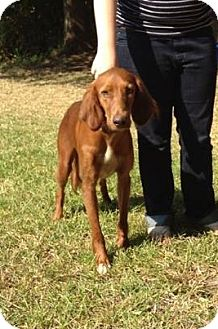 Irish Setter Mix Dog for adoption in Longview, Texas - Shiloh