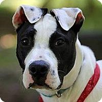 Adopt A Pet :: Georgia Sugar Grace - Chesterfield, VA