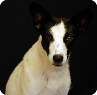 Australian Cattle Dog/Jack Russell Terrier Mix Dog for adoption in Newland, North Carolina - Shelby