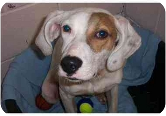 Hound (Unknown Type) Mix Dog for adoption in Oakland, New Jersey - Cassidy
