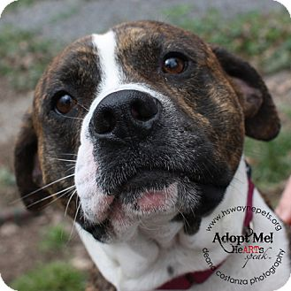 Pit Bull Terrier Mix Dog for adoption in Lyons, New York - Lucas