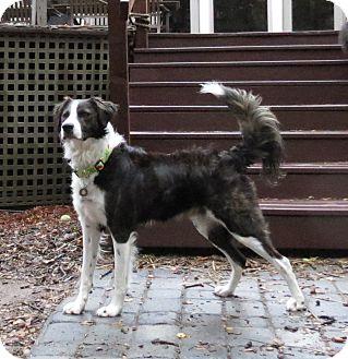 Border Collie Mix Dog for adoption in Corning, California - RODNEY