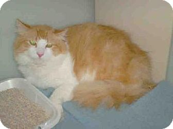 Maine Coon Cat for adoption in Oakland, California - Wyatt