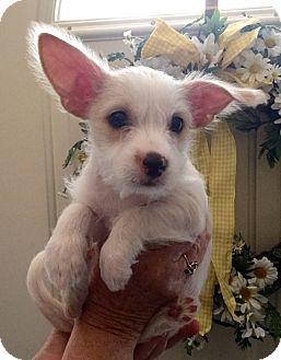 Podengo Portugueso Mix Puppy for adoption in Hurricane, Utah - JAMESON