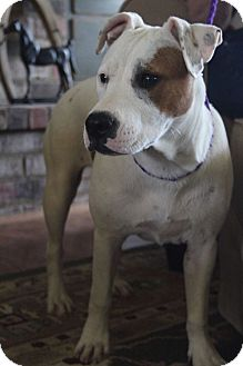 American Bulldog/Boxer Mix Puppy for adoption in Hagerstown, Maryland - Pearl