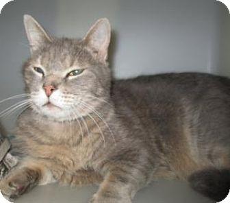 Domestic Shorthair Cat for adoption in Cumming, Georgia - Kimbo