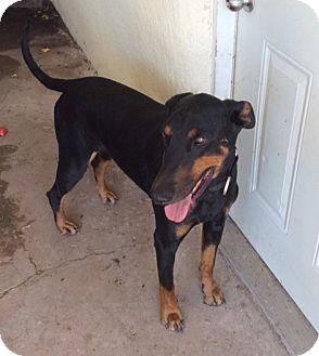 Doberman Pinscher Dog for adoption in Albuquerque, New Mexico - Desoto
