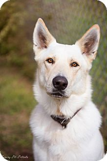 German Shepherd Dog Mix Dog for adoption in Beaumont, Texas - Ricky