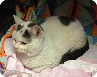 Domestic Shorthair Cat for adoption in Newtown, Connecticut - Puff