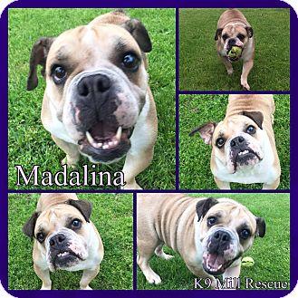 English Bulldog/American Pit Bull Terrier Mix Dog for adoption in Hurst, Texas - Madalina