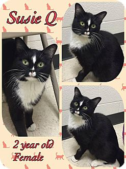 Domestic Shorthair Cat for adoption in Lexington, North Carolina - Susie Q