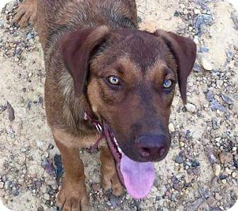 Labrador Retriever/Hound (Unknown Type) Mix Dog for adoption in Orlando, Florida - Amber