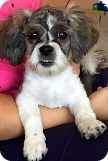 Shih Tzu/Maltese Mix Puppy for adoption in Ft Myers Beach, Florida - Cute little Dude!!
