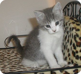 Domestic Shorthair Kitten for adoption in Fenton, Missouri - Kelsy