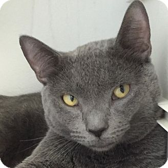 Domestic Shorthair Cat for adoption in Norwalk, Connecticut - Grey Rock