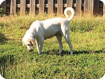 Labrador Retriever Mix Dog for adoption in Lexington, North Carolina - Sally