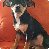 Adopt A Pet :: Blanch-Adoption pending - Bridgeton, MO