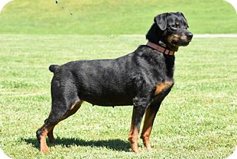 Rottweiler Dog for adoption in Brattleboro, Vermont - LOVEY