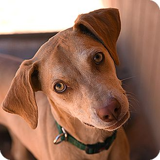 Vizsla Dog for adoption in Kanab, Utah - Magpie