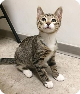 Domestic Shorthair Kitten for adoption in Brooklyn, New York - Juniper