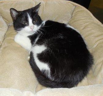 Domestic Shorthair/Domestic Shorthair Mix Cat for adoption in Jackson, Michigan - Sam