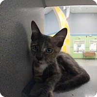Domestic Shorthair Kitten for adoption in Gulfport, Mississippi - Lady Anna
