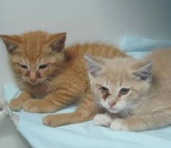 Domestic Shorthair/Domestic Shorthair Mix Cat for adoption in Robinson, Illinois - Bubbles(left)