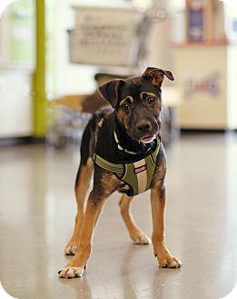Shepherd (Unknown Type) Mix Dog for adoption in Marietta, Georgia - Kato