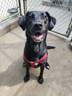 Labrador Retriever/Shepherd (Unknown Type) Mix Dog for adoption in Aberdeen, South Dakota - Sadie