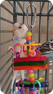 Parakeet - Other for adoption in Elizabeth, Colorado - Ketchup