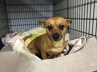 Corgi/Beagle Mix Dog for adoption in Harmony, Glocester, Rhode Island - Cindy Ginger