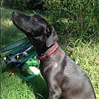 Adopt A Pet :: Loki - Marlton, NJ