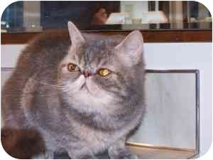 Exotic Cat for adoption in Seattle, Washington - Dazzle
