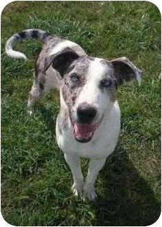 Catahoula Leopard Dog Dog for adoption in Patterson, California - ARGOS