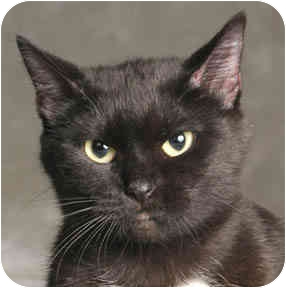 Domestic Shorthair Cat for adoption in Chicago, Illinois - Momi