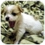 Photo 3 - Shih Tzu/Terrier (Unknown Type, Small) Mix Puppy for adoption in Los Angeles, California - MISO